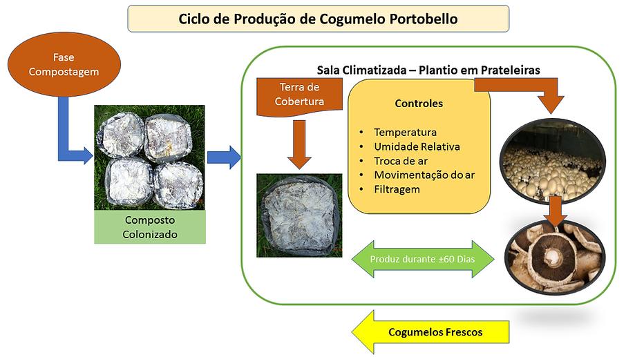 Projeo cogumelos Ciclo de produção de Cogumelos Portobello cultivo produção