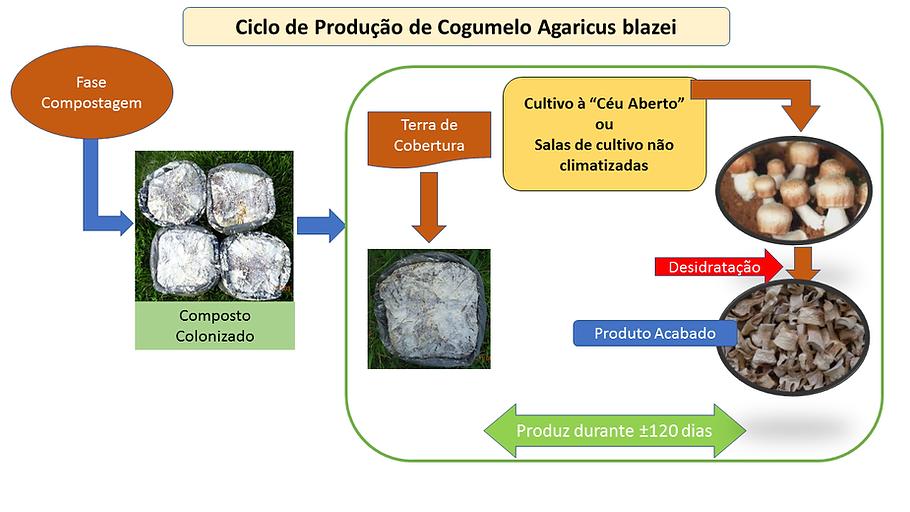 projetocogumelos.org cogumelos produção ciclo de produção Agaricuz blazei cultivo composto substato