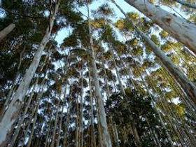 Reflorestamento com Eucalipto