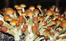 """Cogumelos """"Alucinógenos"""""""