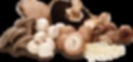 Curso de produção de cogumelos, Cultivo de cogumelos Shimeji Shiitake