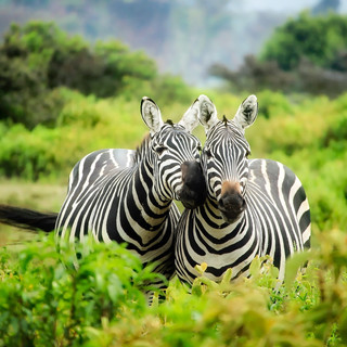 Zebras at land destination Luxury travel to africa from cruise dreams
