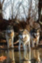 web wolves2.jpg