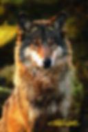 web wolve 4.jpg