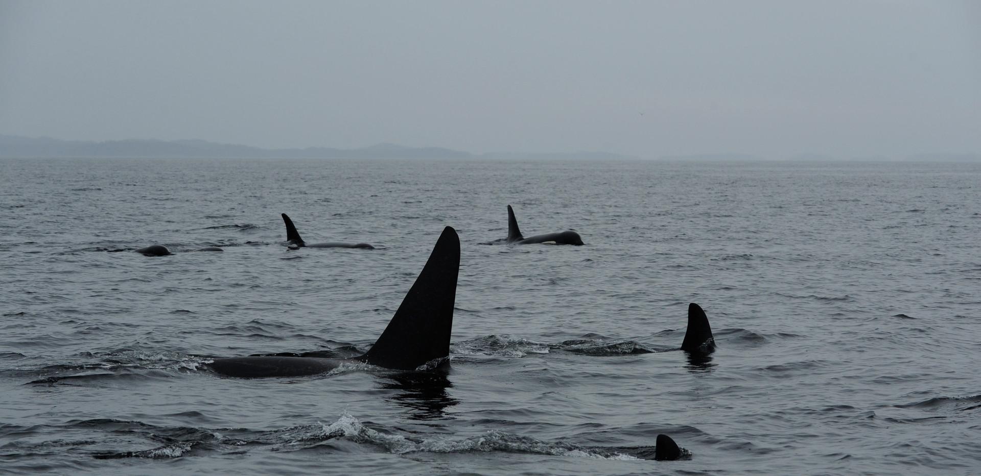 Orcas pod