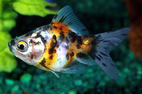 Золотая рыбка ситцевая