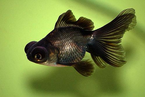 Рыбка Телескоп черный