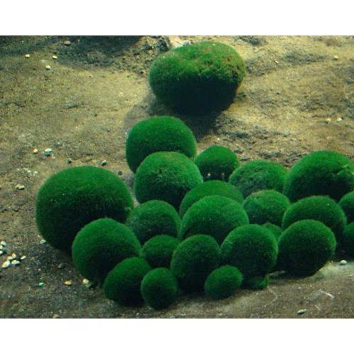 Аквариумное растение Кладофора