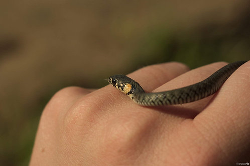 Уж неядовитая змея