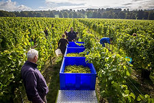 Simpsons winery grapes kent.jpg