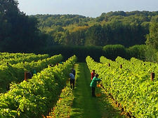 Picking at Biddenden Vineyards.jpg
