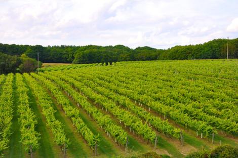 6 Biddenden Vineyards 23 acres of vines.