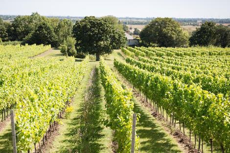 Gusbourne-Vineyard.jpg