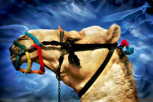 Camel Head.jpg