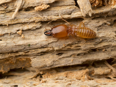 How to Keep Your Furniture Termite-free