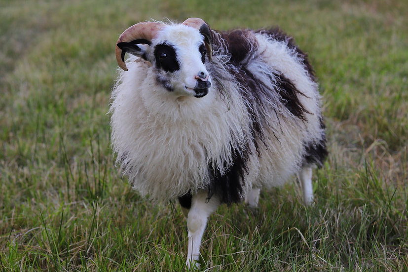 Icelandic Lamb Grilling Pack