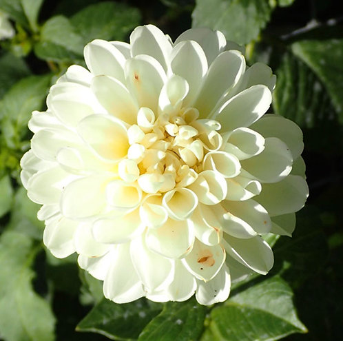 White Nettie