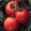 Tomato- Early- Container (Early Girl Bush)