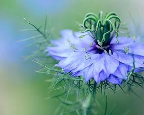 fleur de nigelle synergie d'huiles à base de nigelle