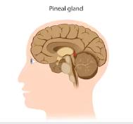 La glande pinéale en réflexologie faciale