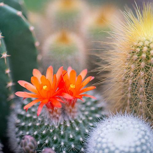 Cactus Flower & Jade