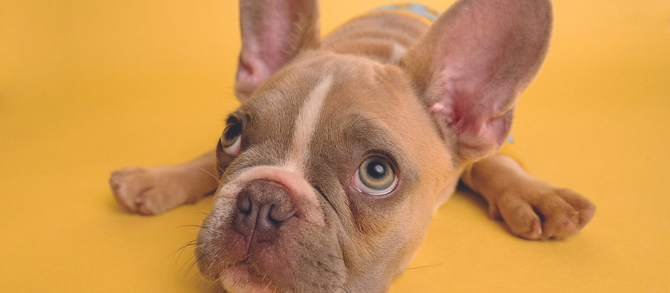 What is Canine Infectious Hepatitis?