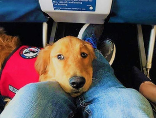 Emotional support dogs and the Air Carriers Access Act
