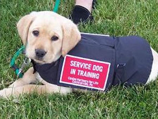 Challenges for service dogs in training