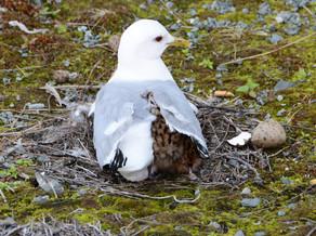 2019RFNHM_PDI_012 - Seagull with Baby Chicks by Hugh McComb.