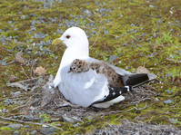 2019RFNHM_PDI_038 - Seagull with Chick by Hugh McComb.