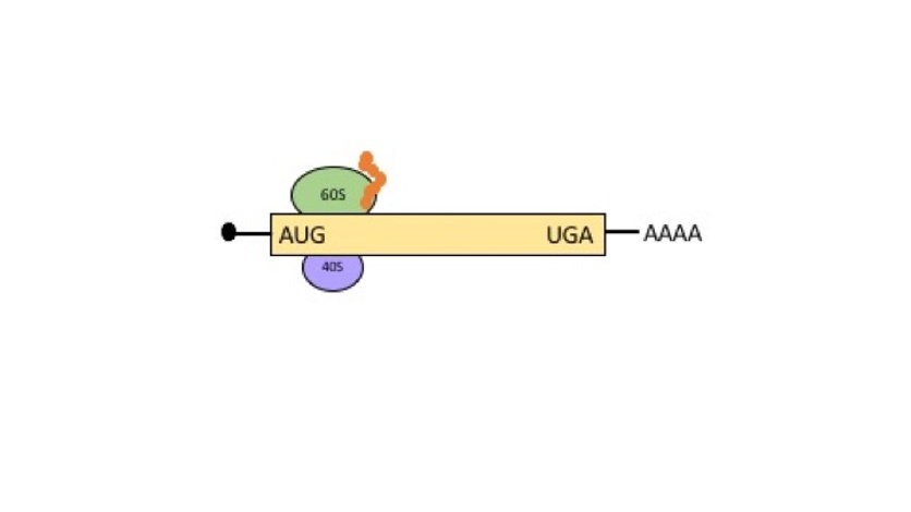 mRNA translation initation and elongation is regulated by the clock