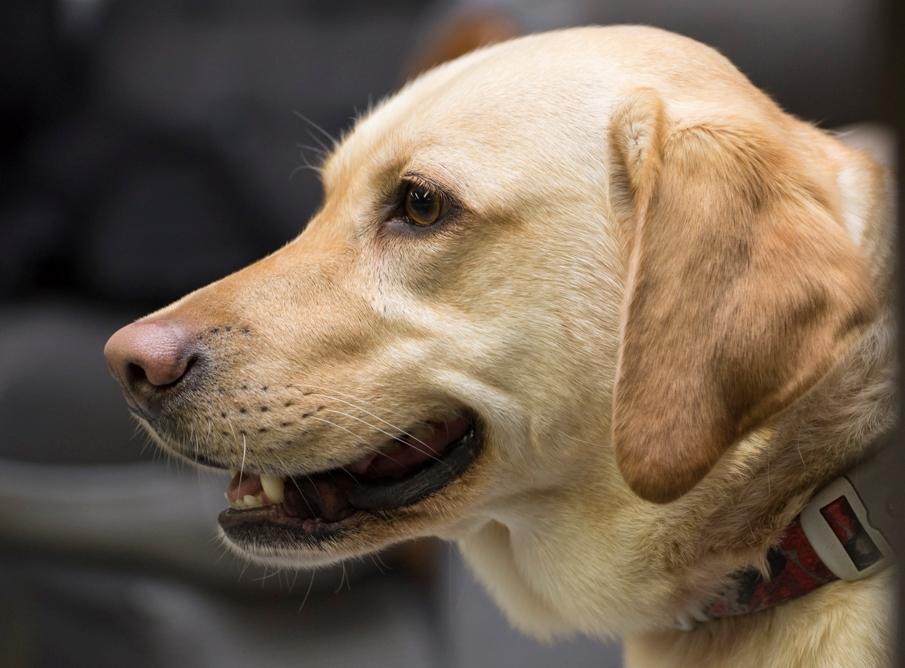 Cassie (Labrador Retriever)