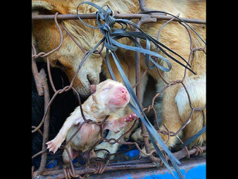 Political Perversion (not Culture) led to China Dog Meat Trade