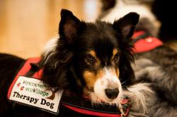 DANNY (Shetland Sheepdog)