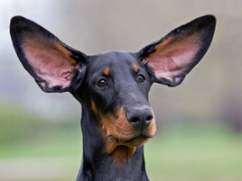 Your Dog's Coat Color Predicts His Hearing Ability
