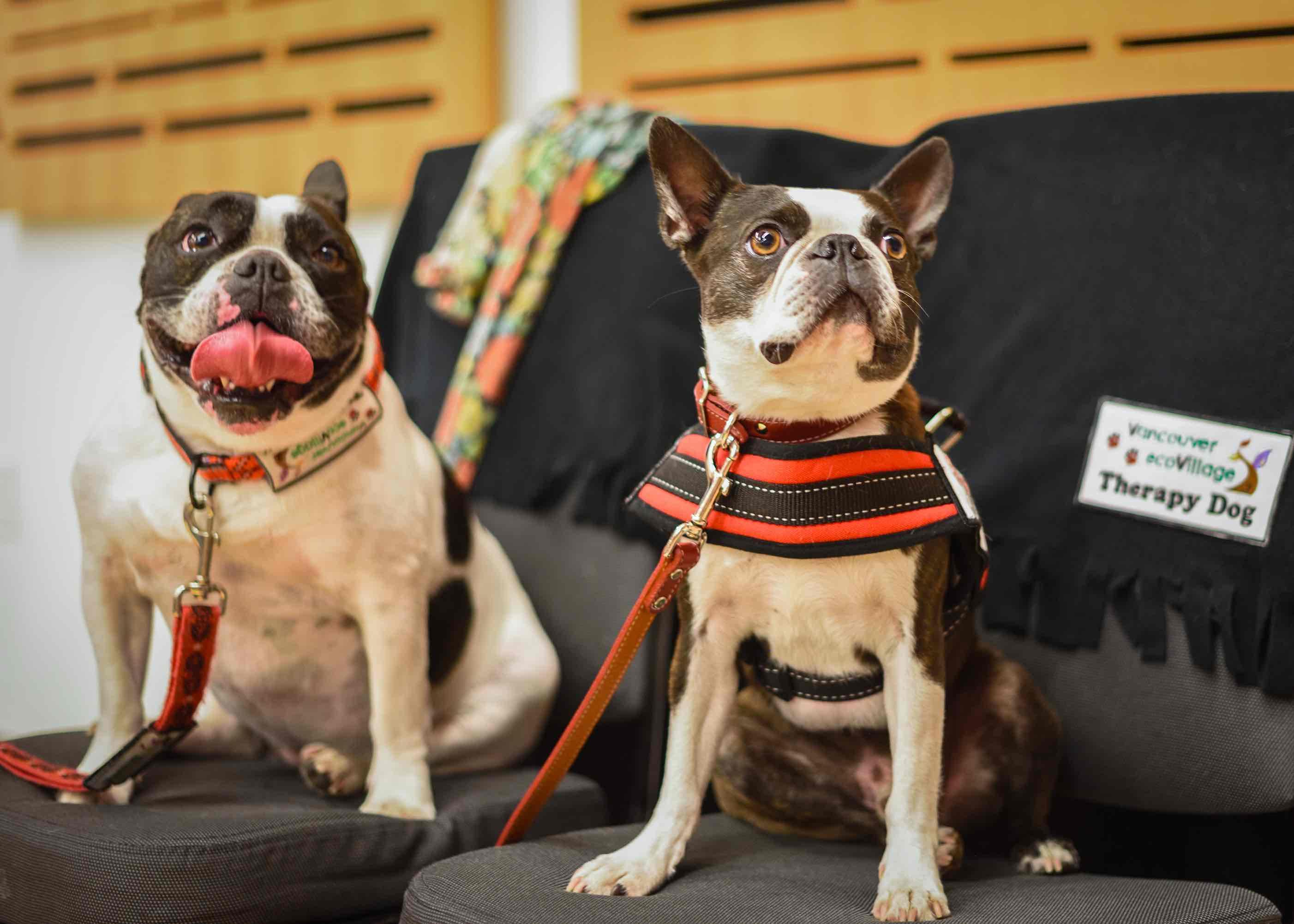 French Bulldog & Boston Terrier