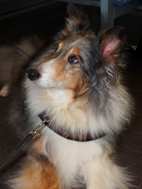 BREEZE (Sheltie)