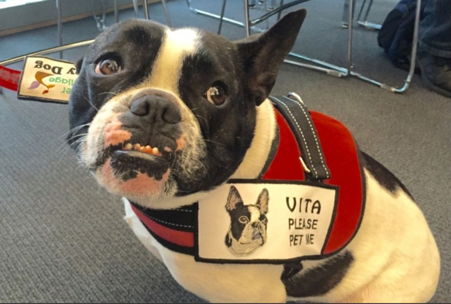 VITA (French Bulldog Mix)