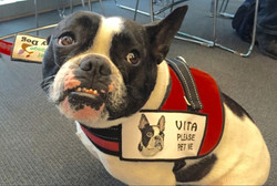 VITA (French Bulldog Mix)