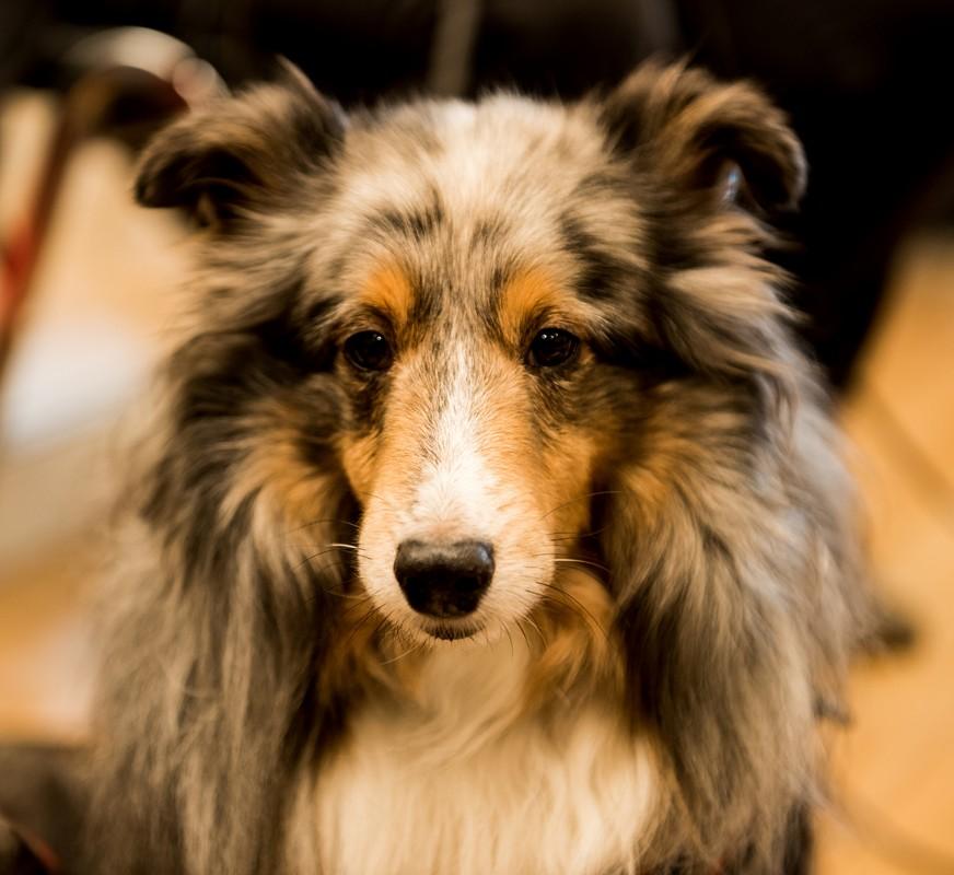 BREEZE (Shetland Sheepdog)