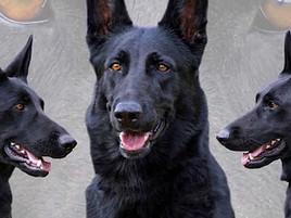 Tireless Searchers: Cadaver Dogs in California