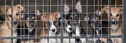 Dog Importation Crisis in Canada