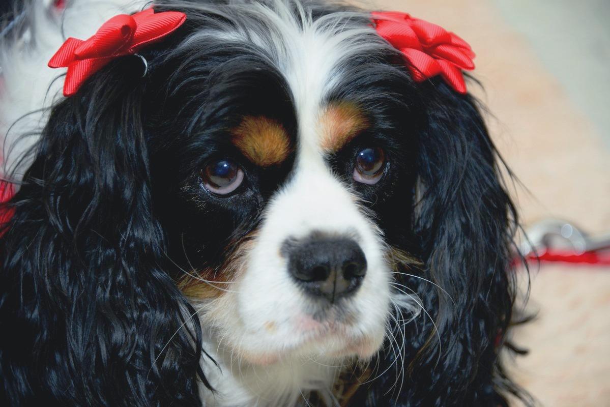 Lucy (KC Cavalier Spaniel)
