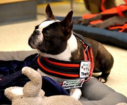 SPOCK (Boston Terrier)
