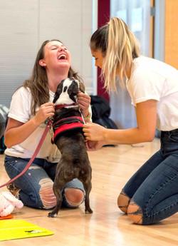Boston Terrier SPOCK