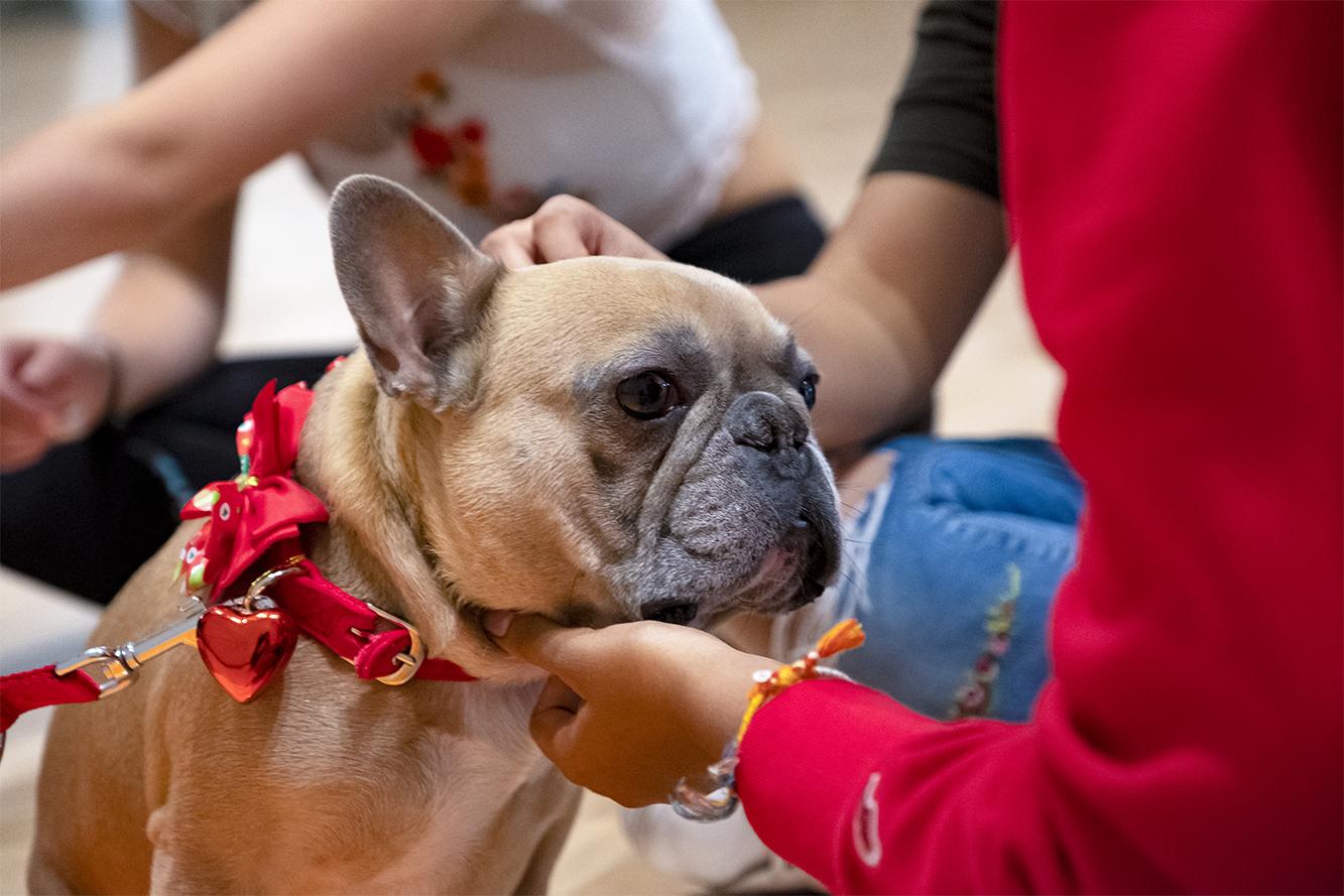 French Bulldog MANGO 💜