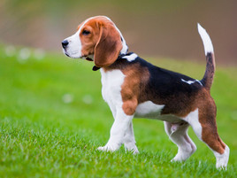 Why Do Dogs Have Tails?