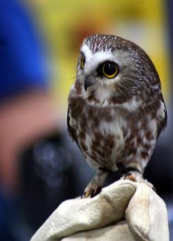 Snowy Owl Show