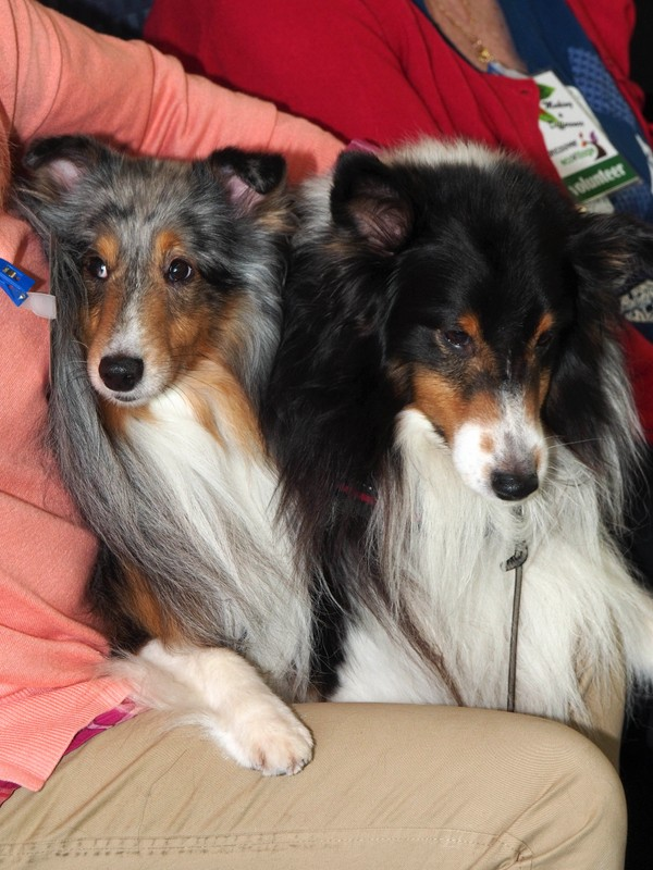 Charlie and Danny (Shelties)