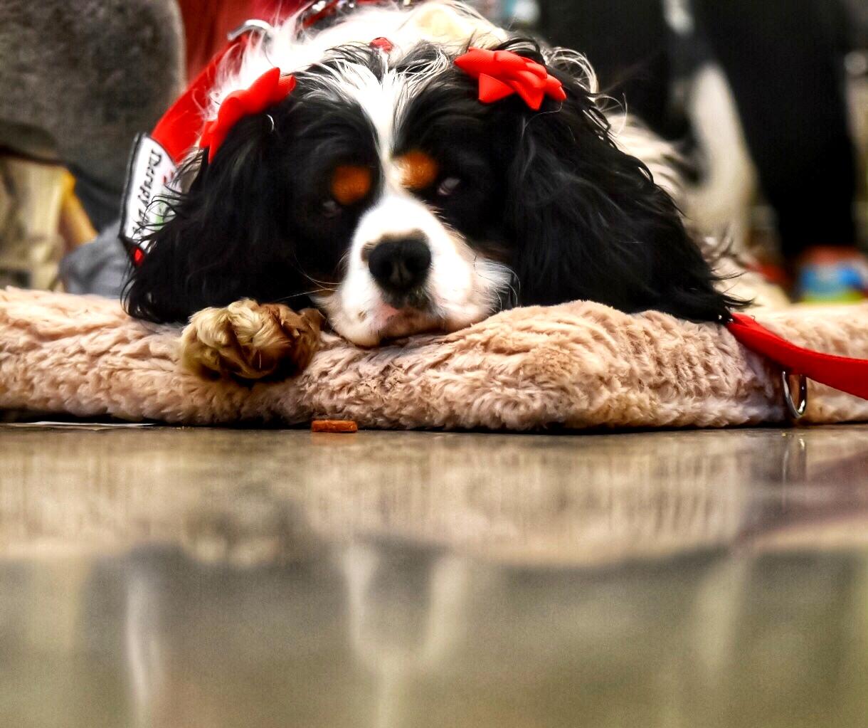 LUCY (Cavalier KC Spaniel)
